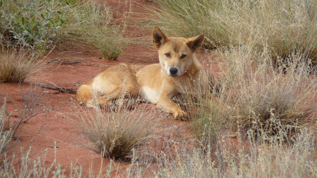Central Australia Dingo