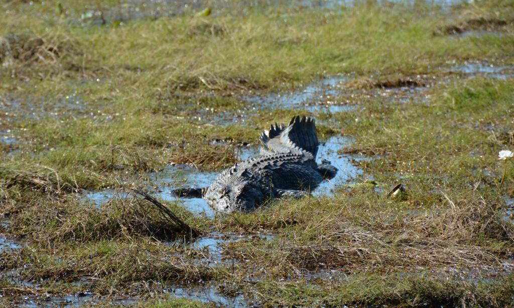 Crocodile in a billabong , Kakadu National Park