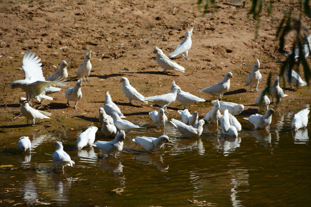 Birdlife at Windjana Gorge