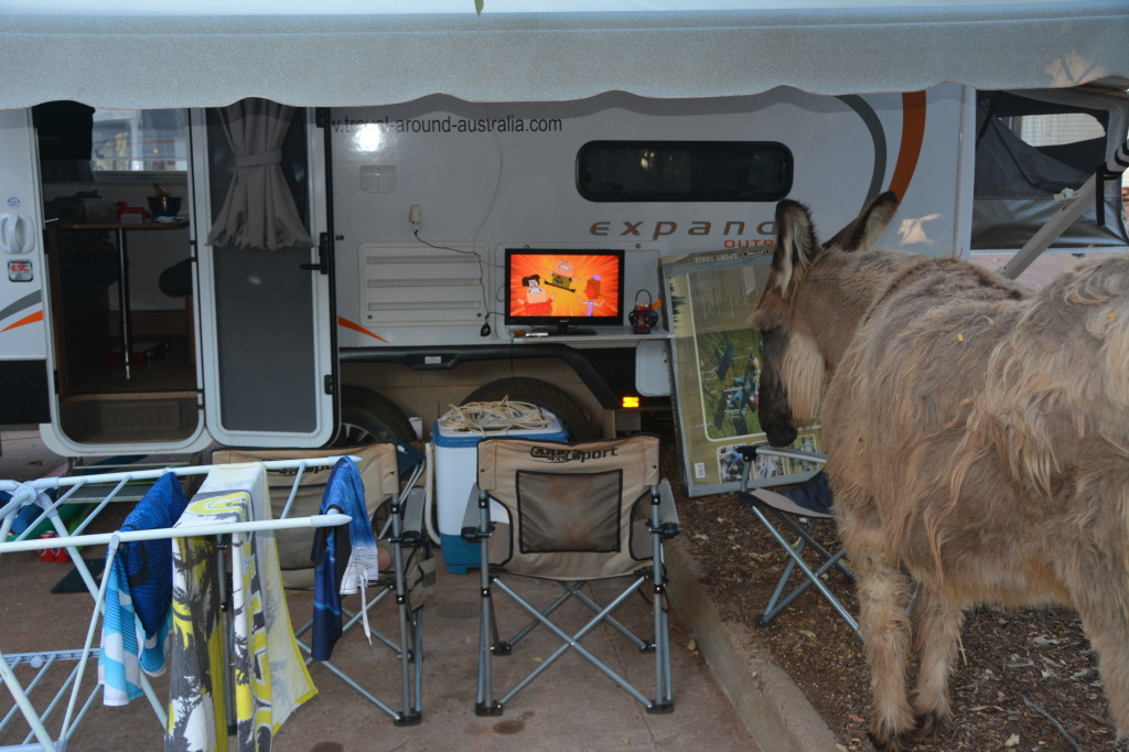 Fuzzy the donkey watching cartoons in Wyndham