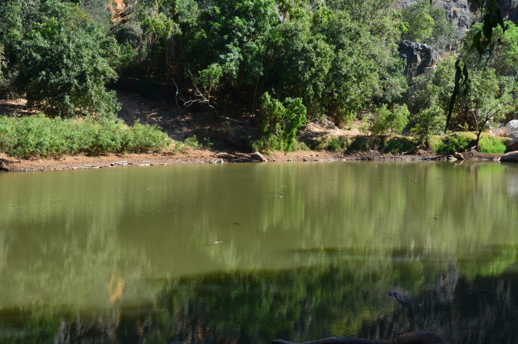 Lots of freshwater crocodiles at Windjana Gorge