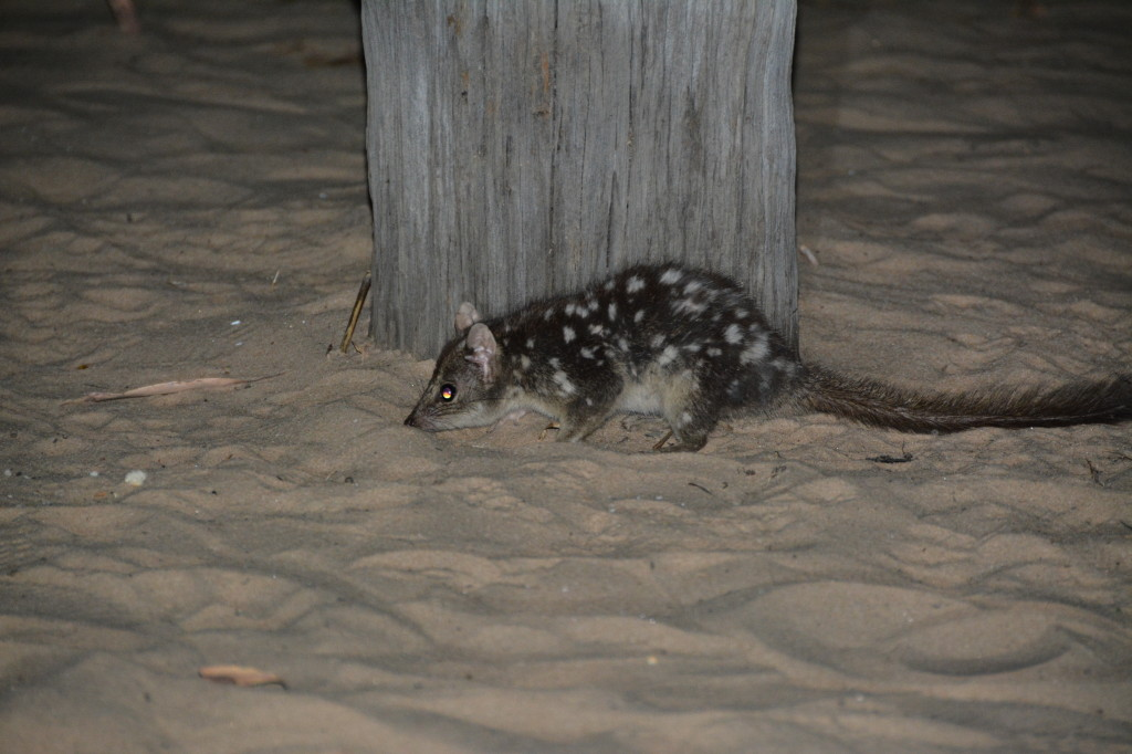 Spotted Quoll at Bachsten Camp, Mt Elizabeth Station