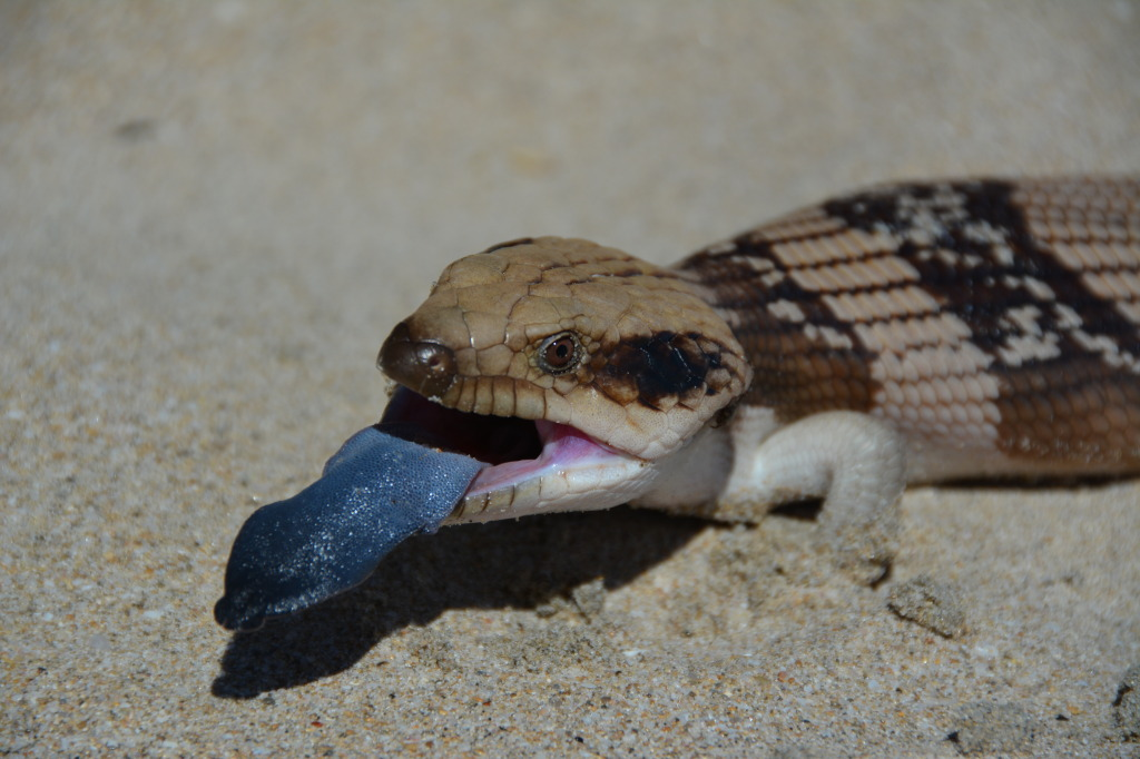 Blue tongue lizard near Kalbarri