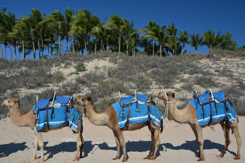 Camels, Broome